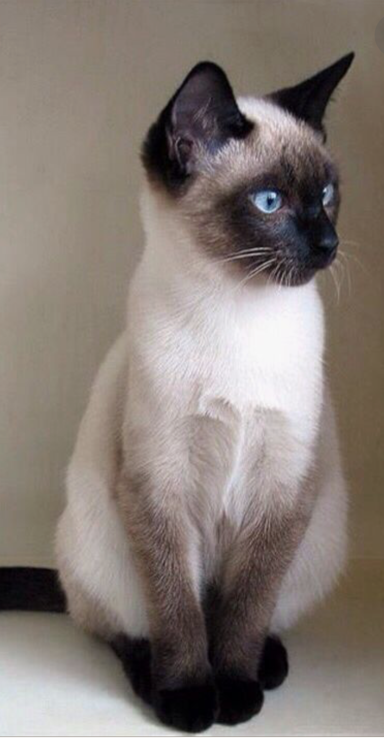 Pin By Laurie Shifflett On Gatos Cats Pretty Cats Cute Cats