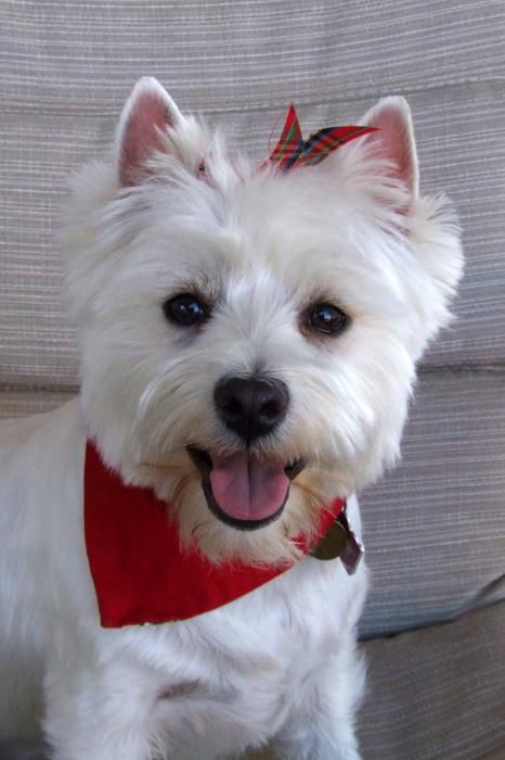 Happy Westie Greeting Card For Sale By Philip Hall Westies