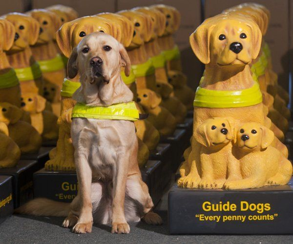 Guide Dogs For The Blind Guide Dog Dog Organization Cute