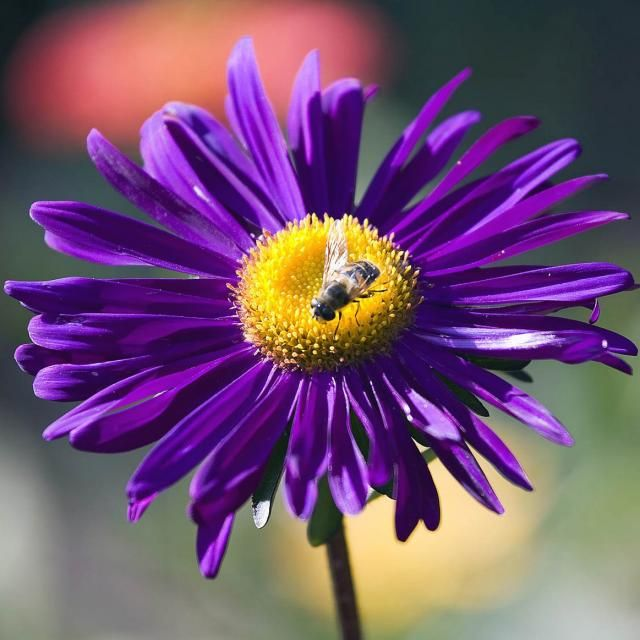 Dark Purple Daisy Flower