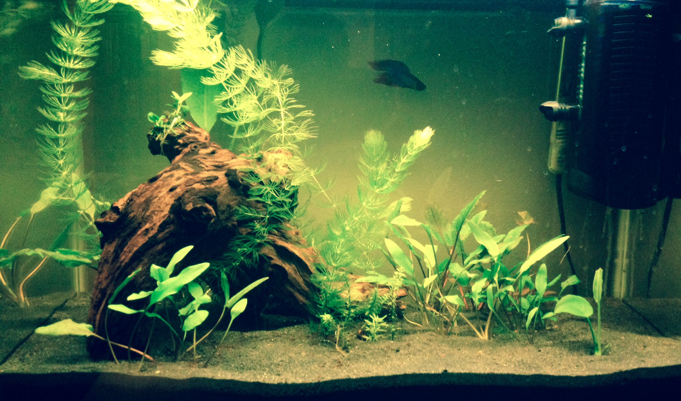 Betta fish stays eerily still when looking right at the Clown Loach