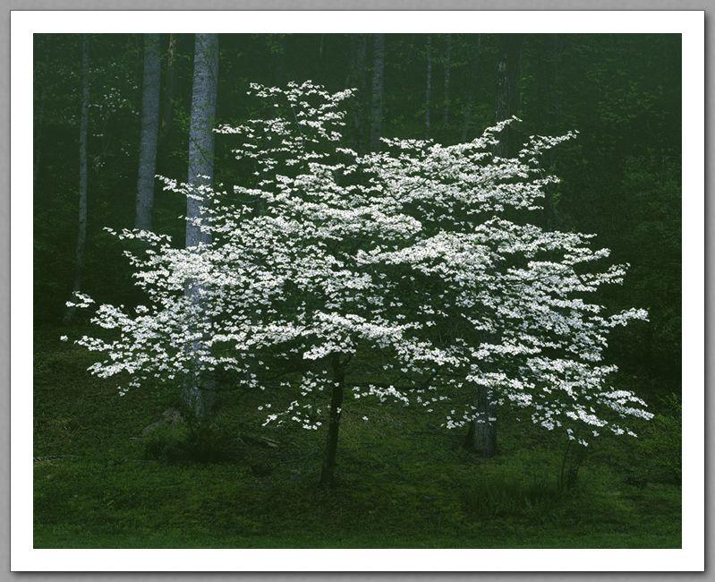 Dogwood in the moonlight dogwood trees dogwood