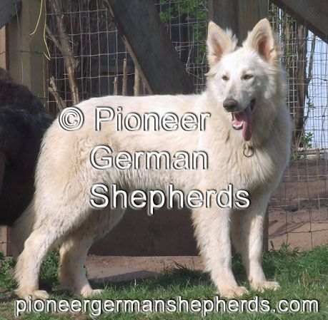 German Shepherd Puppies For Sale In Iowa The Universe Of Animals