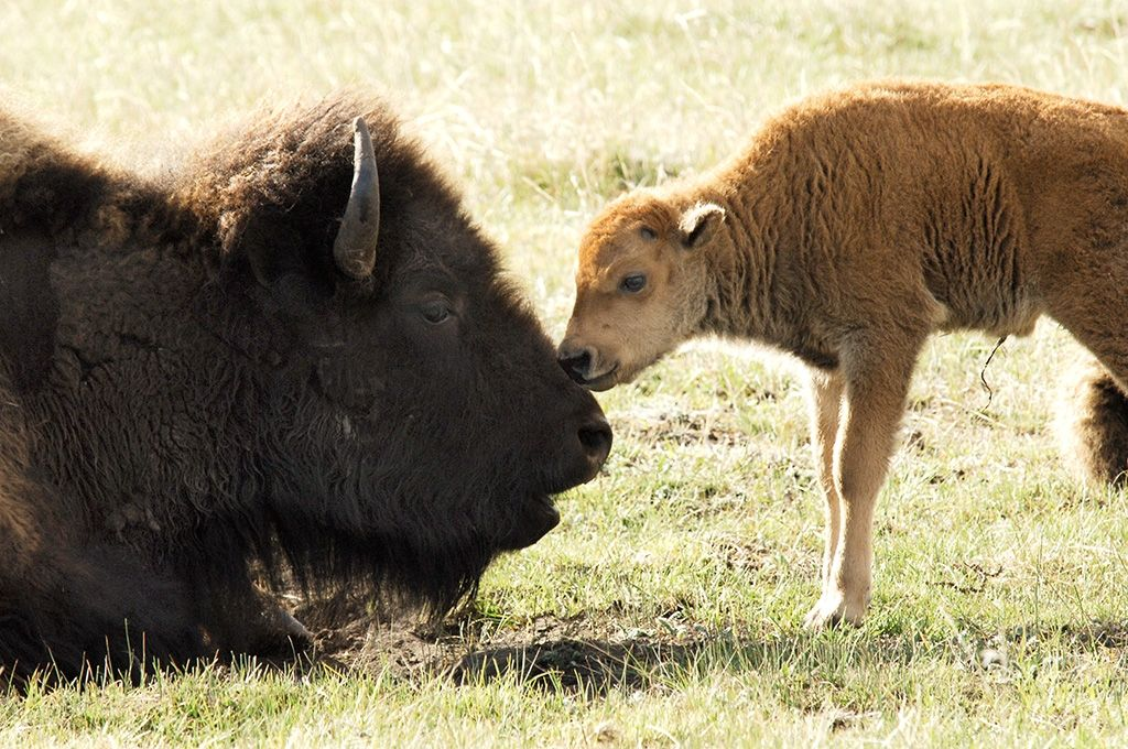 North American Bison Coalition Launches Campaign to Make