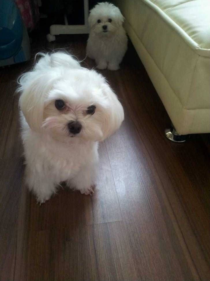 Pin By Mesamerci On Maltese Dogs Teacup Puppies Maltese Dogs