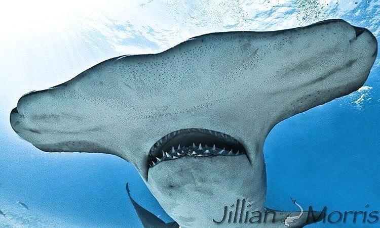 Image result for ampullae of lorenzini hammerhead shark ...