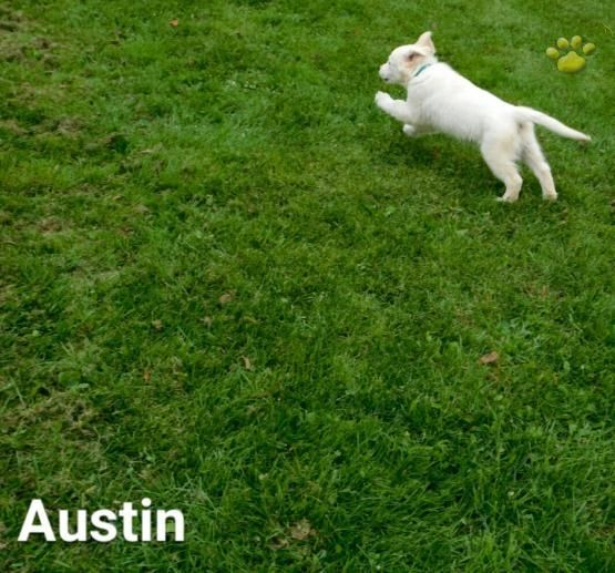 Austin Golden Retriever English Cream Puppy For Sale In
