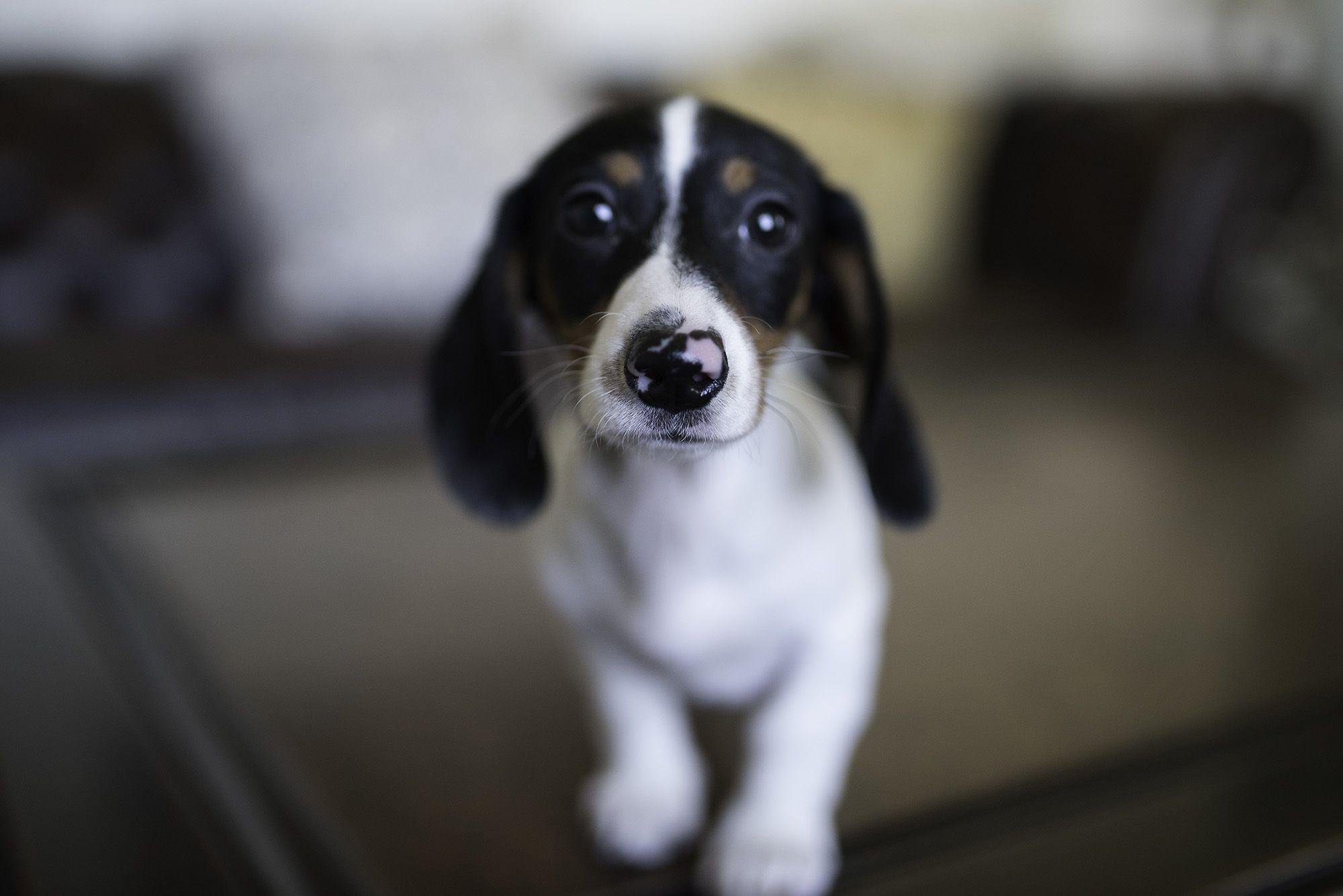 Piebald Miniature Dachshund Dog Weenie Dogs Dachshund