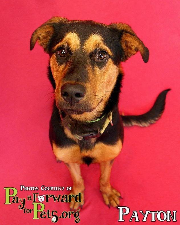 Adopt Payton On Shepherd Mix Dog Dogs Doberman Pinscher