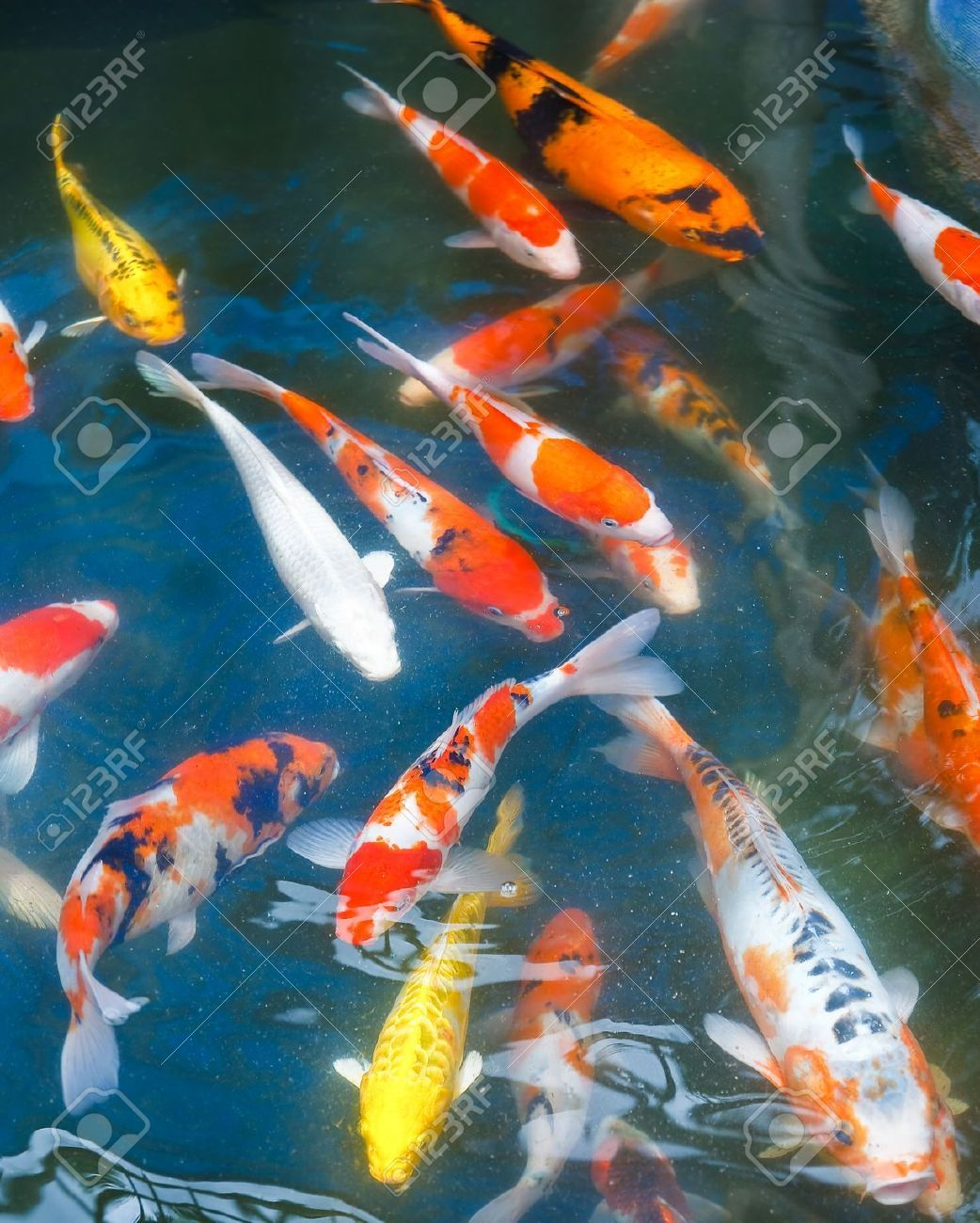 Koi carp google search koi fish pinterest koi carp for Carp fish pond