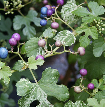 plante grimpante synonyme