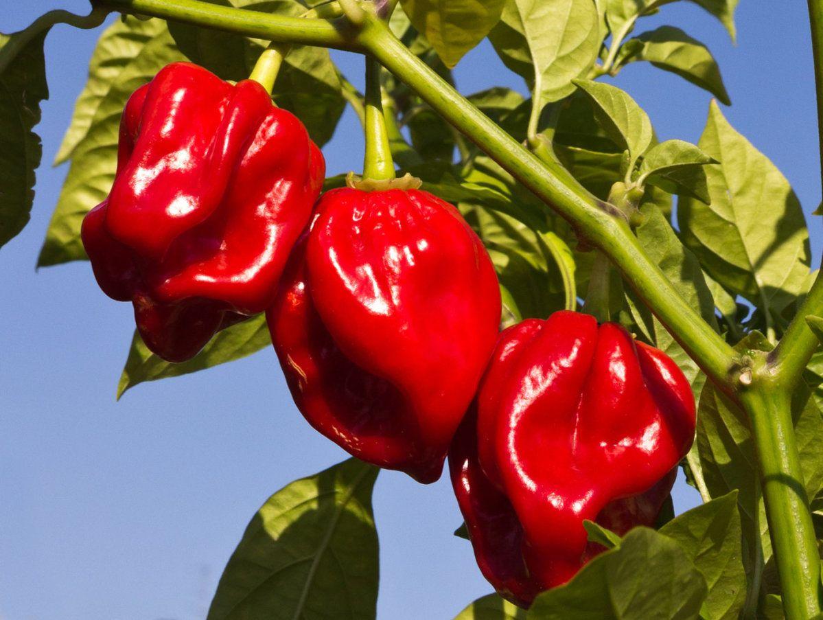 Chilli Habanero Red Caphab Awapuni Nurseries New