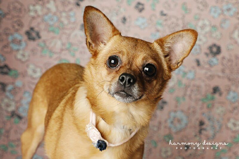 Adopt Poppet on Animal rescue, Chihuahua mix, Animals