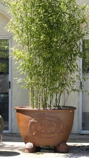 Potted Bamboo I Want Small Narrow Pot Of 3 To Put In Shade Area Walking Path Summer