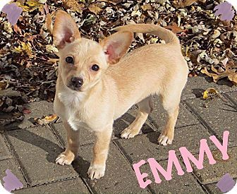 Fort Wayne In Corgi Chihuahua Mix Meet Emmy A Puppy For