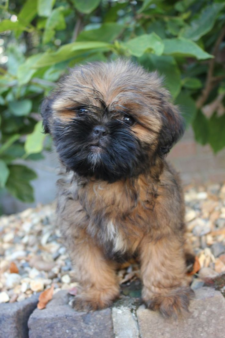 what does a shih tzu dog look like shih tzu pug mix this one really does look like an ewok 9957