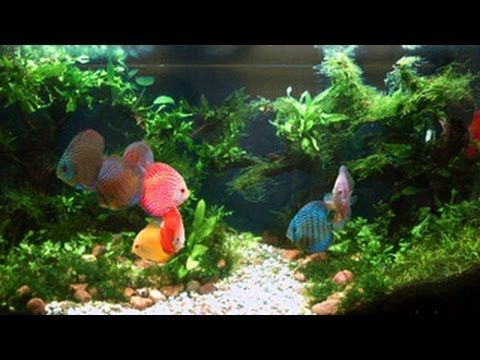 Exceptional Discus Aquascaping   Google Search