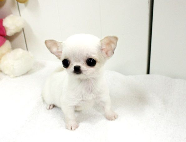 Teacup Dogs Tiny Dog Breeds With Huge Personalities Teacupdogdaily