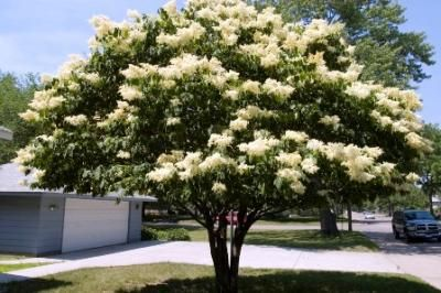 Tree Lilac Morden Nurseries And Garden Center Fast Growing Shade Trees Fast Growing Trees Japanese Lilac Tree