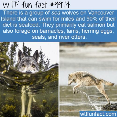 Photo of Fun Animal Fact – Sea Wolves
