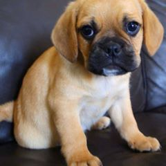 Adorable Adorable Puggle Puppies For Sale Sydney Pug X