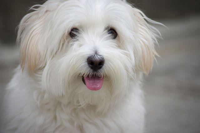 Sammy Coton De Tulear Dogs Puppies