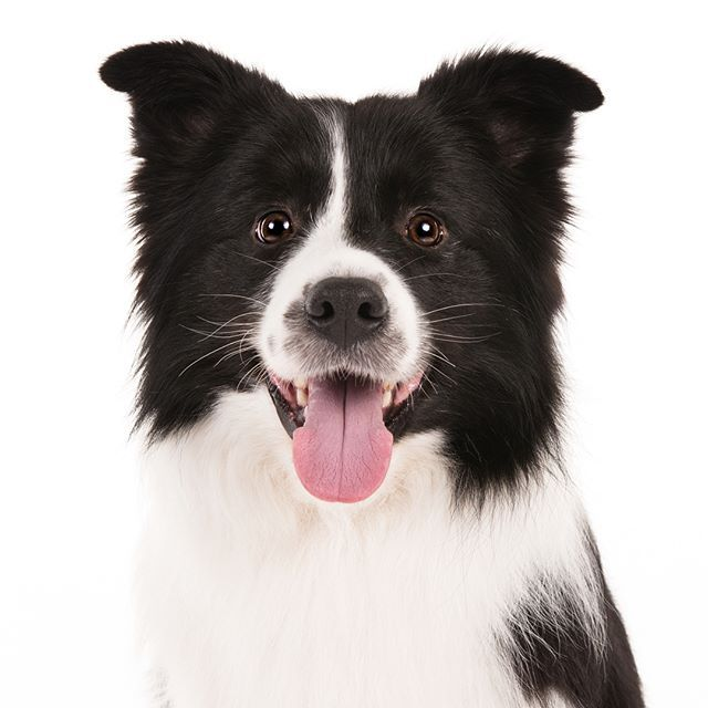 10 Things You Didn T Know About The Border Collie Collie Border