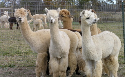 cute alpaca Google Search (With images) Cute alpaca