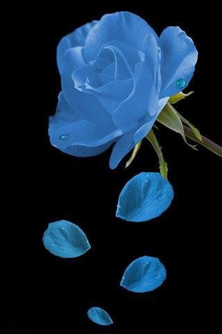 Free Samsung Gt S5360 Gt S5363 Galaxy Y Beautiful Roses Wallpaper Software Download
