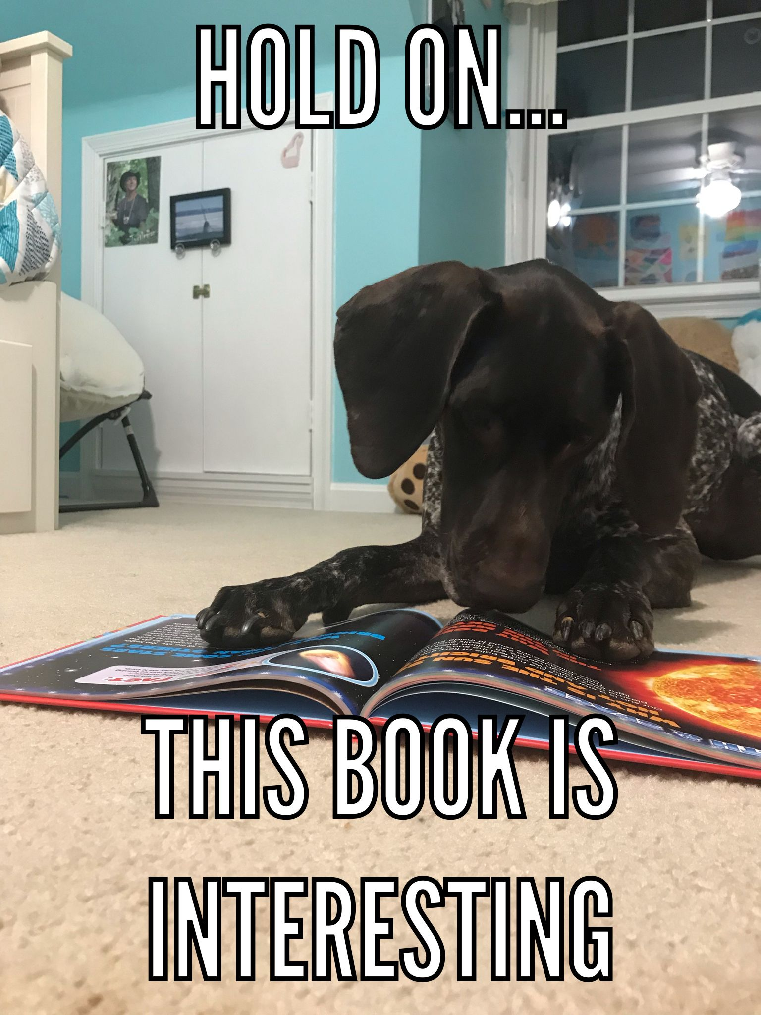Gsp Meme Dixiememes German Shorthaired Pointer Dogs And Kids Puppy Facts