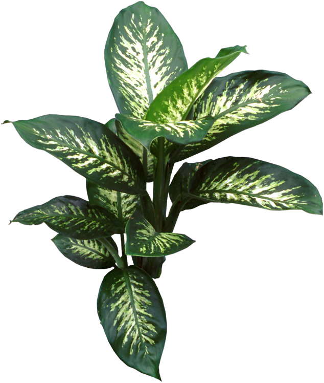 Dieffenbachia, great #houseplants, propagated by air ...
