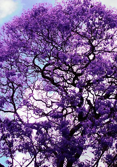 Jacaranda By Route64 Purple Trees Jacaranda Tree Flowering Trees