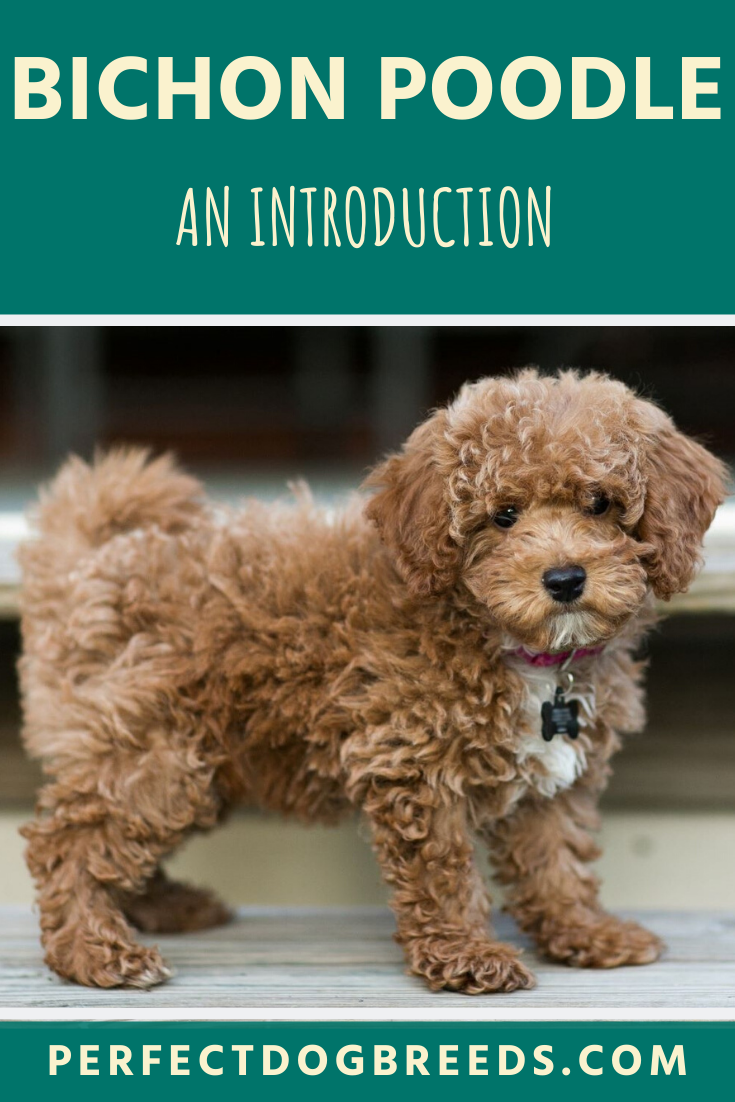 The Bichon Poodle Mix, fondly called the Bichpoo is a family friendly, highly affectionate designer dog. Read on to find out why we believe this teddy bear dog has all the qualities to meet you and your family's needs.