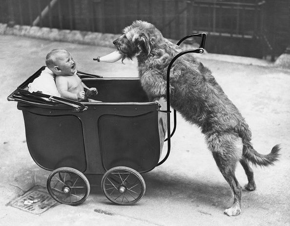 Jungtier in a baby carriage. A dog is bringing it the milk bottle; the baby is afraid and is crying. c. 1910 (Aire Mix)