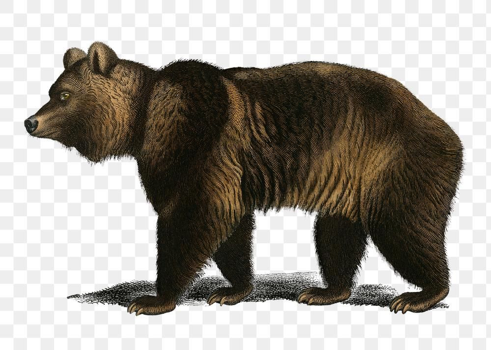 Vintage Brown Bear Png Wild Animal Remix From Artworks By Charles Dessalines D Orbigny Free Image By Rawpixel Com Karn Animals Wild Brown Bear Animals