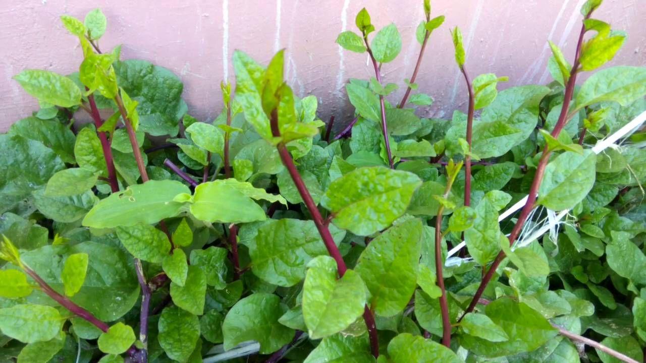 15 Health Benefits of Alugbati Leaves Philippine Super