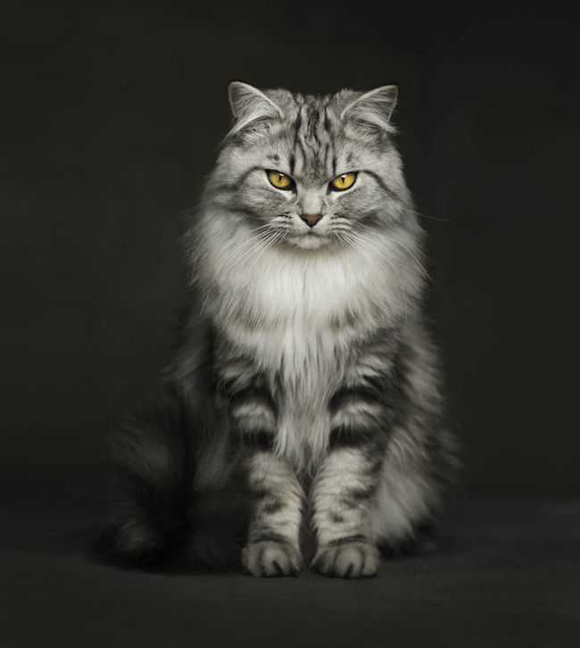 Amazing Animal Photography By Vincent Lagrange Animal Photography Cat Photography Pet Portraits