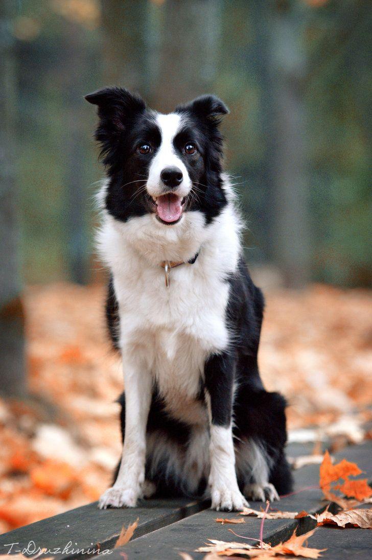 Autumn By T Solnechnaya On Deviantart Dogs Border Collie Border Collie Puppies