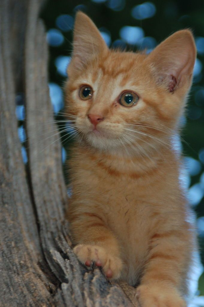 Kitten Training Tips and Treat Rewards Minou, Chat