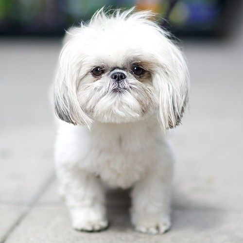 Lola Shih Tzu 20th Park Ave New York Ny The Dogist Shih Tzu Shih Tzu Dog Shih Tzu Puppy