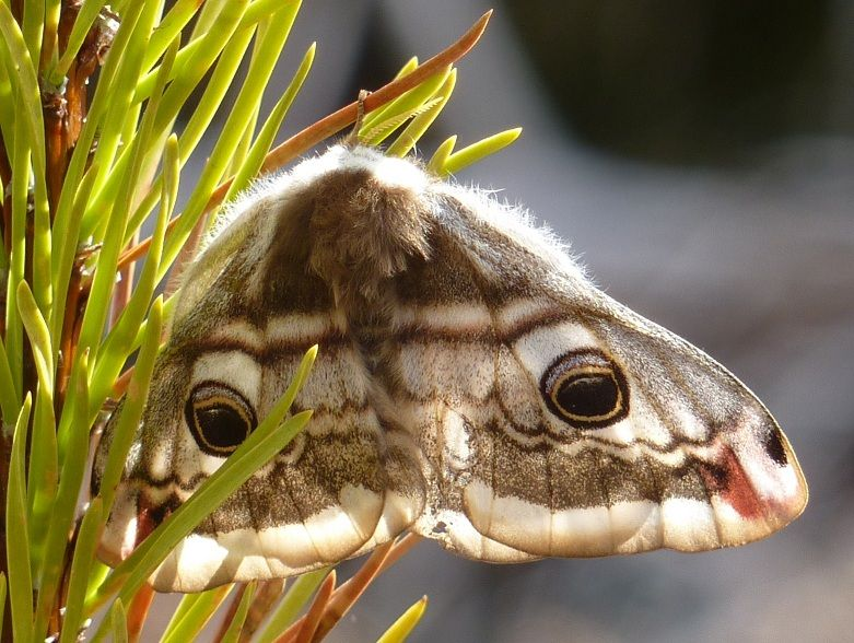 Emperor moth outlined by sunlight