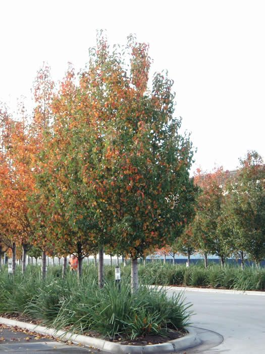 Landscaping With Pear Trees : Pyrus calleryana chanticleer mature garden