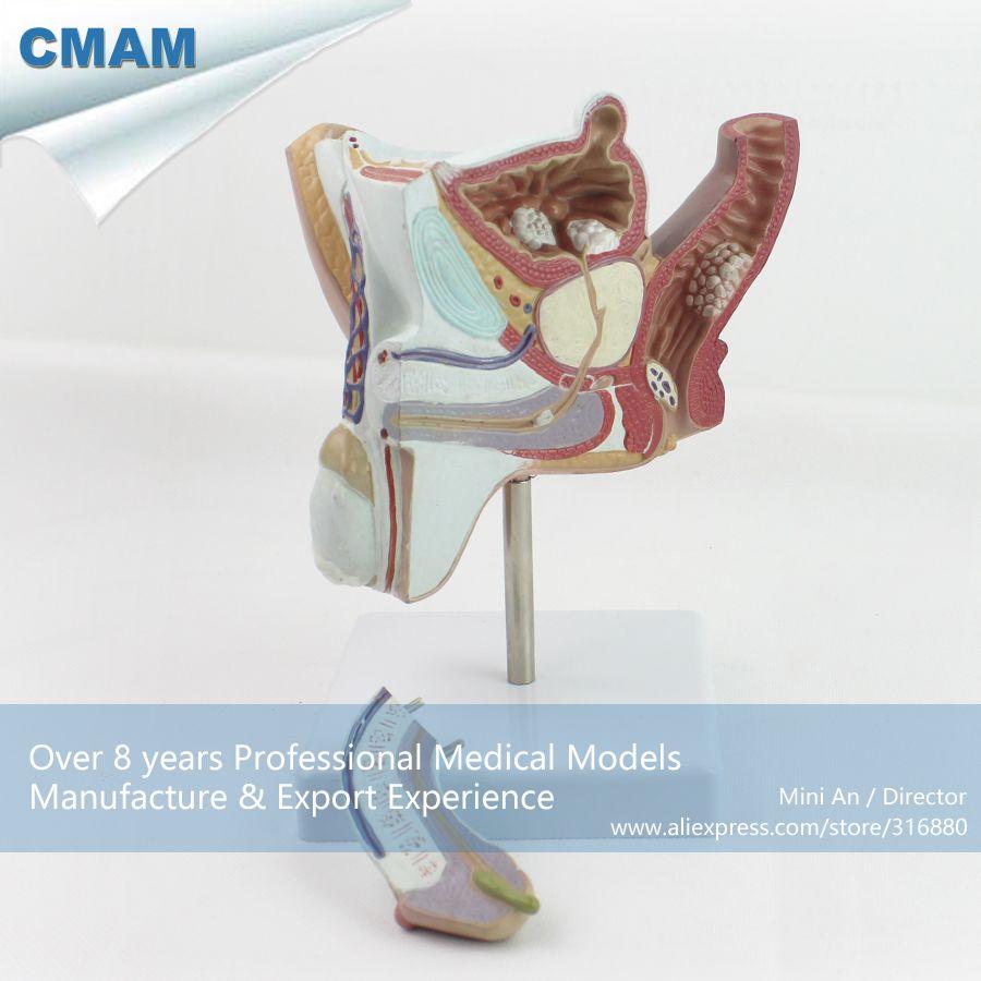 CMAM-ANATOMY18 Pathological Model Male Urogenital Sysstem Anatomy ...