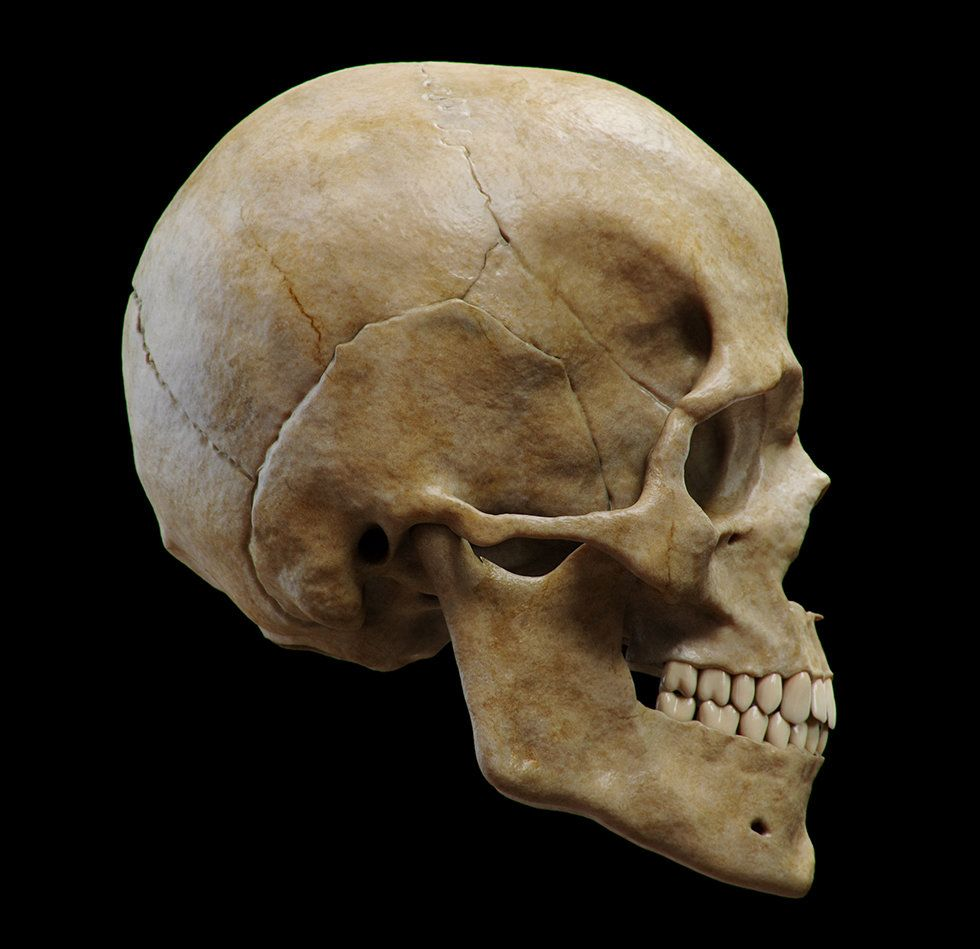 ArtStation - Anatomy Study (Skull), Guzz Soares