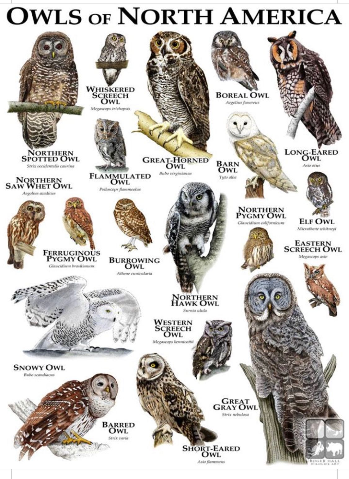 Great Gray Owl Strix Original Drawing Print Decor Halloween Bird Art Wildlife