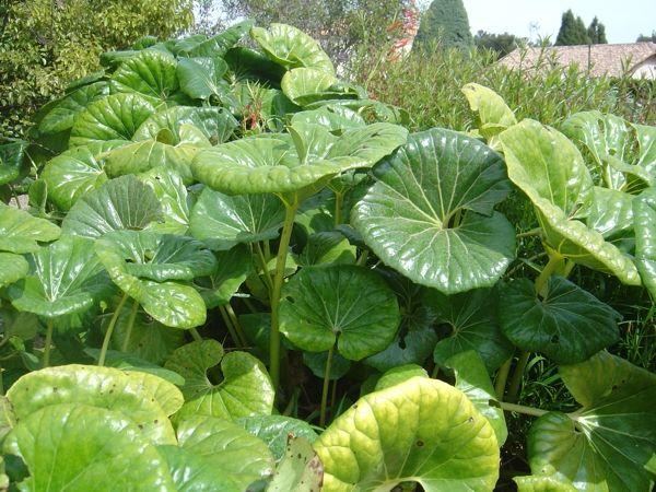 voil une dr le de plante que ce farfugium japonicum acheter pinterest feuilles vertes. Black Bedroom Furniture Sets. Home Design Ideas