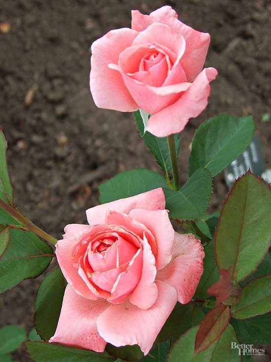 Pink Roses that Add a Sweet Pop of Color to Any Garden | Rose ...