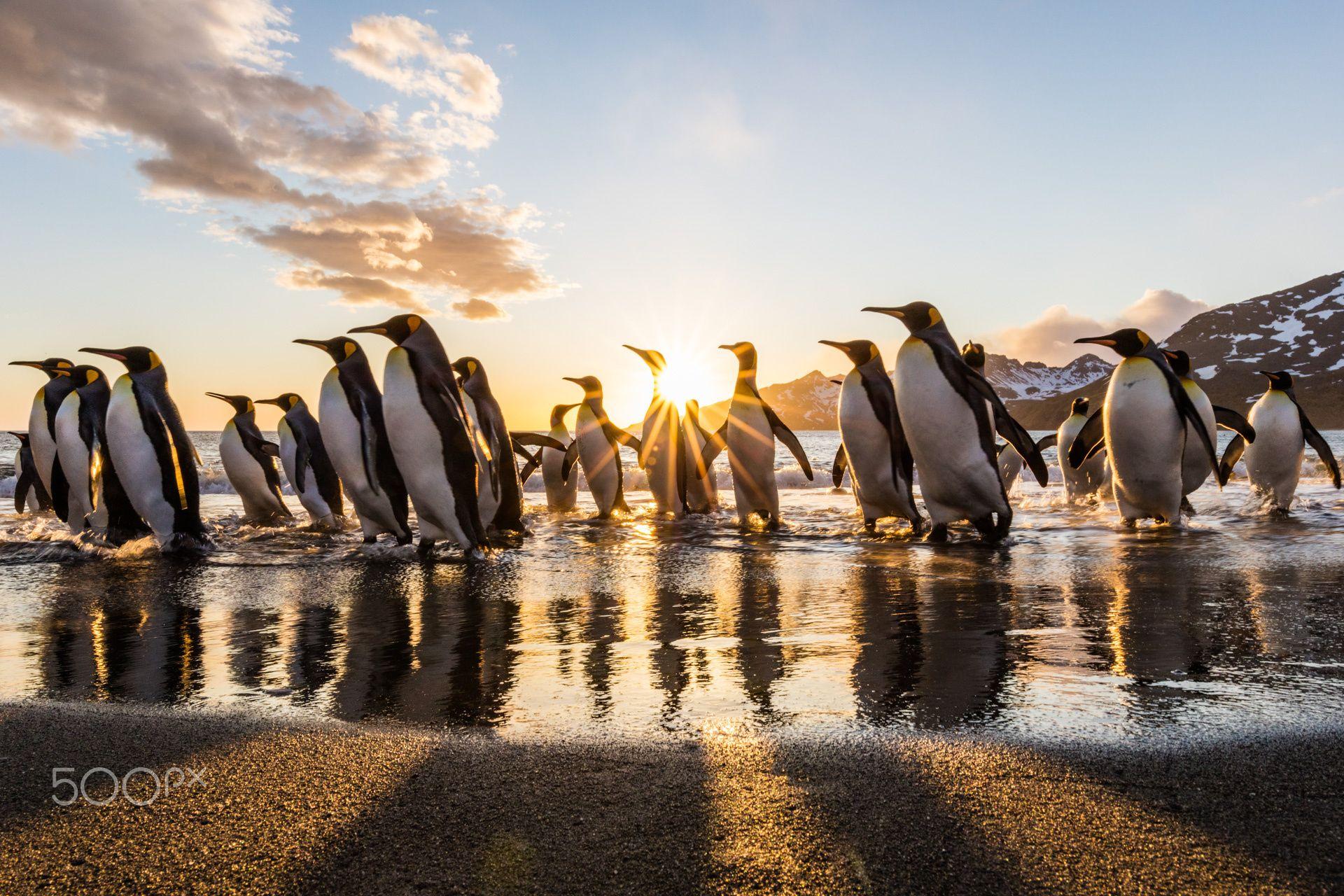 King Penguins at Dawn 45
