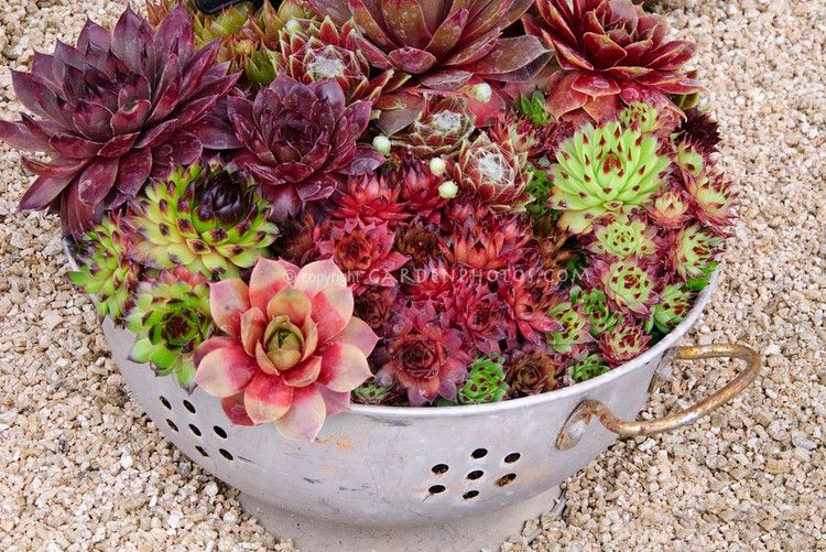 Mixed sempervivums in funny kitchen colander pot container for a humorous funny idea. Love this idea, it is pretty!