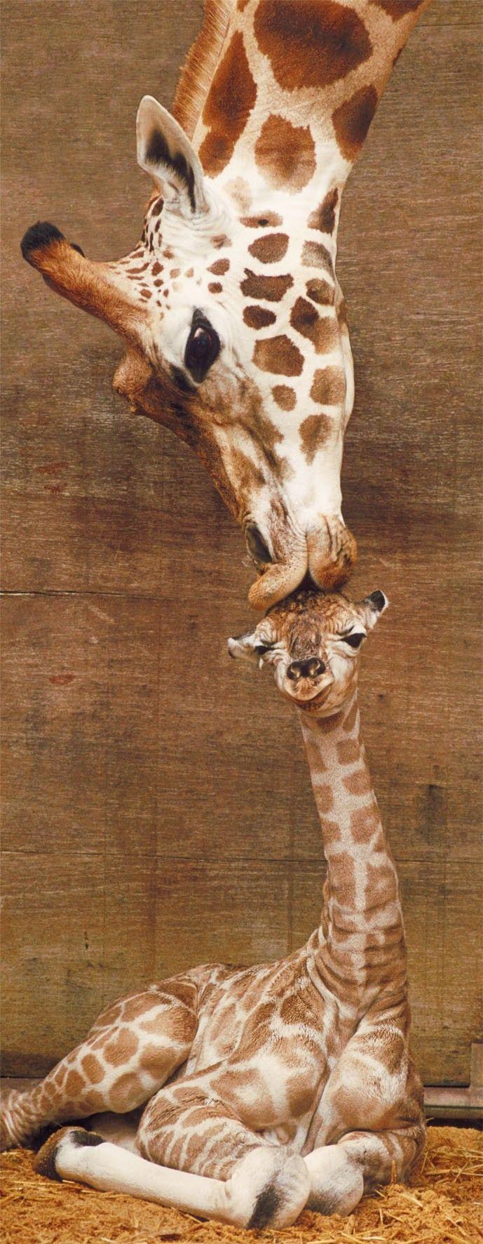 Puzzle maman girafe bisous sur la t te puzzles animaux - Image bebe animaux ...